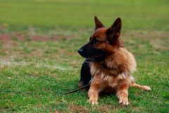Dog breed German Shepherd. Is lying on a green grass in the park stock photography