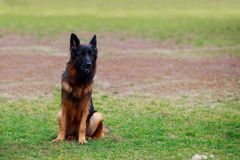 Dog breed German Shepherd. Is sitting on a green grass in the park stock photos
