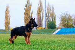 Dog breed German Shepherd. Little puppy of breed German Shepherd stands on green grass in the park royalty free stock photo