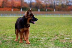 Dog breed German Shepherd. Little puppy of breed German Shepherd stands on green grass in the park stock photos