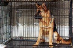 Dog breed German Shepherd Royalty Free Stock Photo