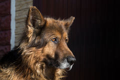 Dog breed German shepherd on nature. Animal Concept Royalty Free Stock Images