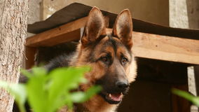 Dog breed German Shepherd. Portrait stock footage