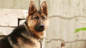 Dog breed German Shepherd. Portrait stock video