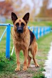 Dog breed German Shepherd. Portrait of dog breed German Shepherd a close-up royalty free stock images