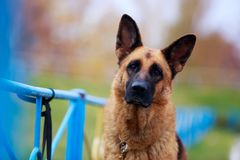 Dog breed German Shepherd. Portrait of dog breed German Shepherd a close-up stock images