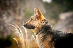 Dog breed German shepherd portrait on nature Stock Photo