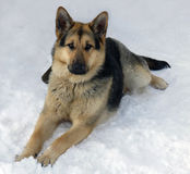 The  dog of breed a German shepherd on snow Royalty Free Stock Photography