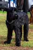Dog breed Giant Schnauzer royalty free stock images
