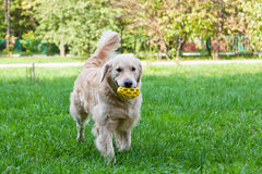 Dog of breed a golden retriever Royalty Free Stock Images