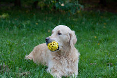 Dog of breed a golden retriever Stock Images