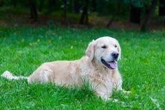 Dog of breed a golden retriever Stock Photography