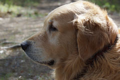 The dog breed golden retriever in profile, visible black collar, and on background blurred earth Stock Photos