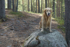 The dog breed golden retriever sitting after swimming at a large boulder on the trail in the pine forest and smiling Royalty Free Stock Photography