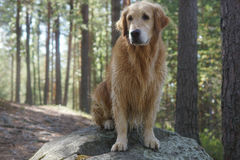 The dog breed golden retriever sitting after swimming at a large boulder on the trail in the pine forest Royalty Free Stock Photo