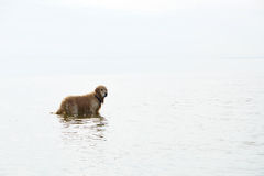 The dog breed golden retriever standing in water, turning his head, the white sky and the reflection of the sky merges Royalty Free Stock Image