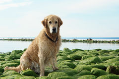 The dog breed golden retriever wet after bathing sitting on green stones at bay Stock Images