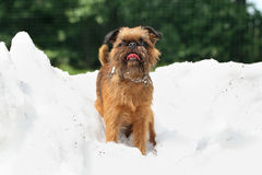 Dog breed Griffon on a pile of snow Royalty Free Stock Photo