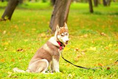 The dog of breed huskies sits on a grass in park on a lead Stock Photos