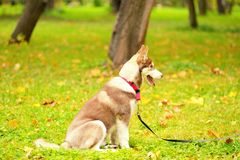 The dog of breed huskies sits on a grass in park on a lead Royalty Free Stock Photo