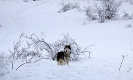 Dog breed Husky on a background of white snow in the winter in the woods. A dog walks through a snowy winter forest royalty free stock photography
