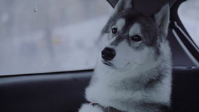 Dog breed husky sitting in the car. stock video footage