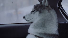 Dog breed husky sitting in the car. stock video