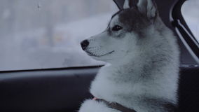 Dog breed husky sitting in the car. stock footage