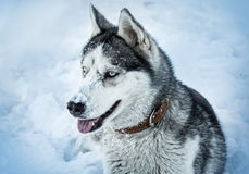 Dog breed Husky Royalty Free Stock Images