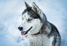 Dog breed Husky Royalty Free Stock Images