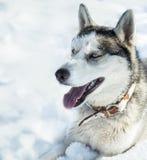 Dog breed Husky Royalty Free Stock Photography