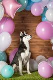 Dog breed Husky. In the studio among the balls stock photos