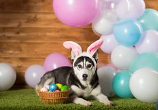Dog breed Husky. In the studio among the balls royalty free stock photography