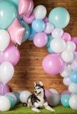 Dog breed Husky. In the studio among the balls stock image