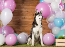 Dog breed Husky. In the studio among the balls royalty free stock photos
