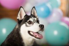 Dog breed Husky. In the studio among the balls stock photo
