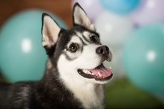 Dog breed Husky. In the studio among the balls stock images