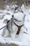 Dog breed Royalty Free Stock Images