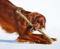 Dog breed Irish Red Setter gnaws stick. Stock Image