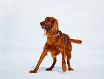 Dog breed Irish Red Setter is going to run after stick. Royalty Free Stock Photo