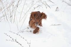Dog breed Irish Red setter Stock Photo