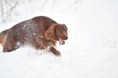 Dog breed Irish Red setter Stock Photography