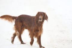 Dog breed Irish Red setter Royalty Free Stock Photo