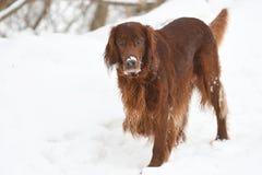 Dog breed Irish Red setter Royalty Free Stock Image