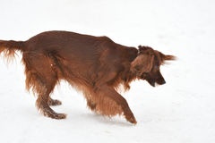 Dog breed Irish Red setter Stock Photo