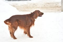 Dog breed Irish Red setter Royalty Free Stock Images