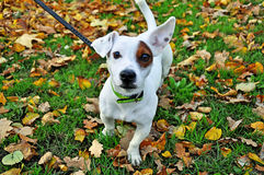 Dog breed Jack Russell Stock Image