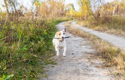 Dog breed Jack Russell at the autumn walk runs around and plays with a stick royalty free stock photo