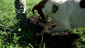 Dog breed jack russell terrier dig a hole. Dog breed jack russell digging hole. Dog breed jack russell terrier dig a hole close up. Hunting dog jack russell stock video footage