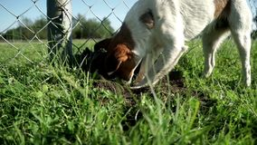 Dog breed jack russell terrier digging hole nose and paws. Dog dig a hole. Dog breed jack russell terrier digging hole close up. Pampered dog jack russell stock footage